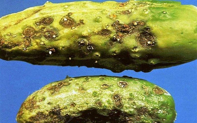 Кладоспориоз (оливковая бурая пятнистость) огурцов на фото