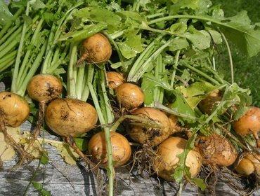 Как получить семена репы и подготовить их к посадке