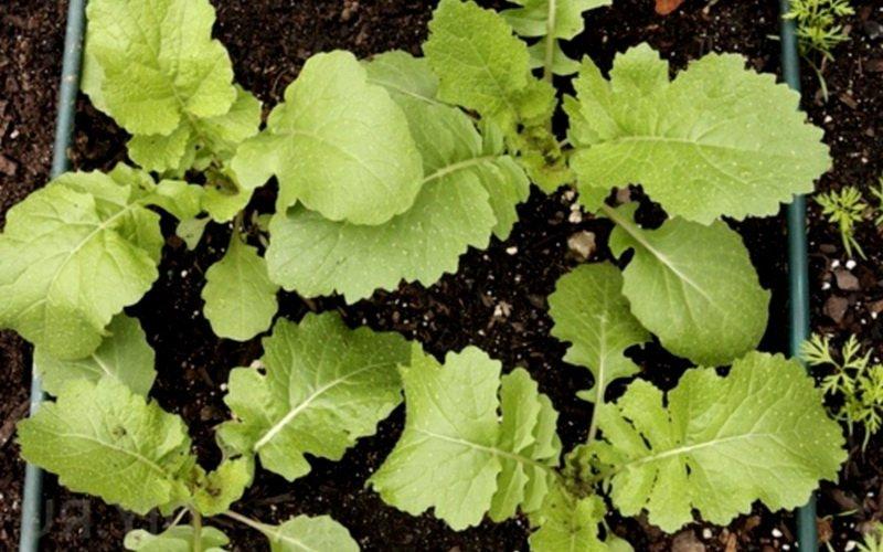 Подготовка семян репы к посадке в грунт