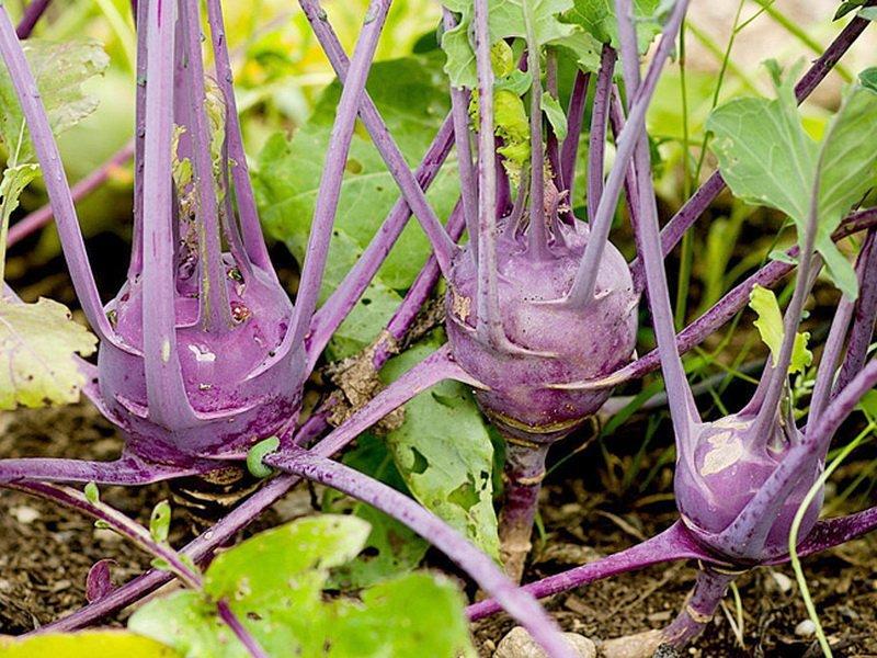 Капуста кольраби сорт «Виолетта» на фото