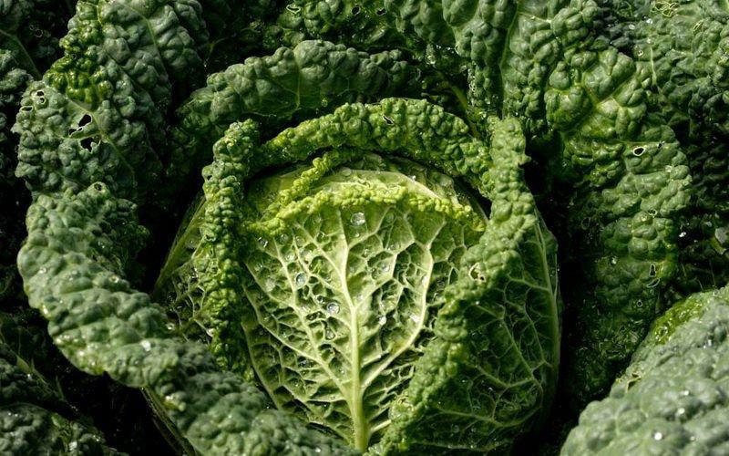 Лучшие сорта савойской капусты для средней полосы (с фото)