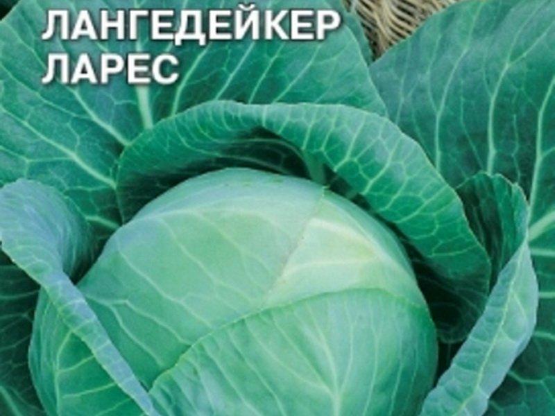 Семена белокочанной капусты «Лангедейкер поздний» на фото
