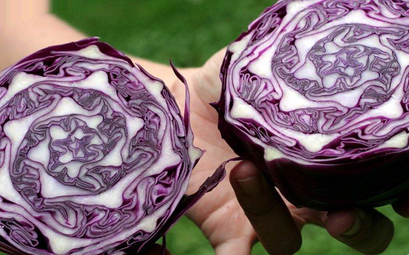 Лучшие сорта краснокочанной капусты и их фото