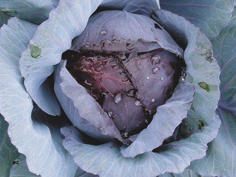 Краснокочанная капуста «Поздняя красавица» на фото