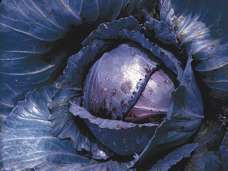 Семена краснокочанной капусты «Ранняя красавица» на фото
