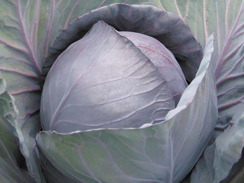 Сорт краснокочанной капусты «Поздняя красавица» на фото