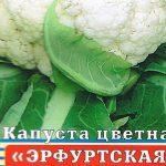 Лучшие сорта капусты скороспелки