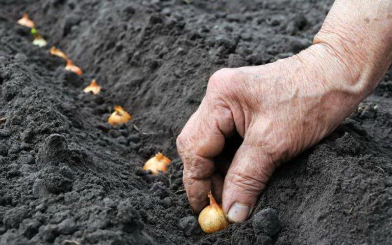 Посадка головок лука на семена и уход за «чернушкой»