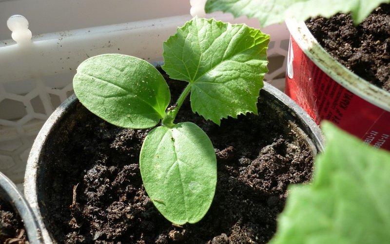 Подготовка семян патиссонов к посеву
