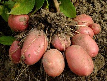 Получение клубней семенного картофеля и их обработка