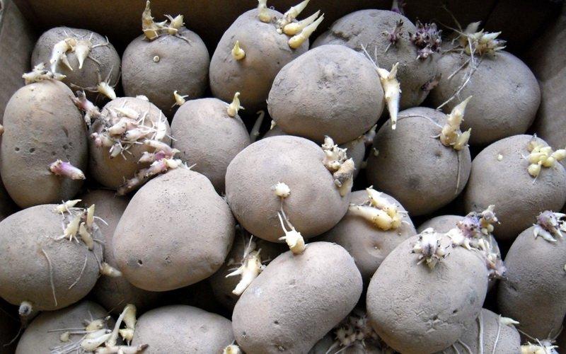Как правильно отобрать семенной картофель для посадки