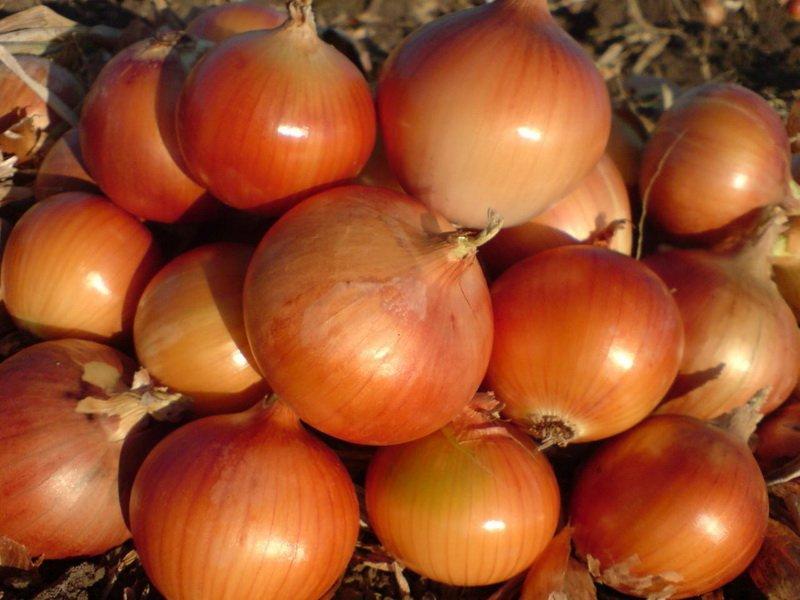 У лука «Каратальский» луковицы округлые, желтого, иногда золотисто-желтого (фото)