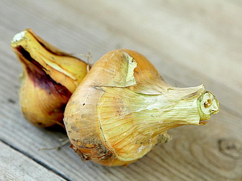 У лука-шалота «Спринт» луковицы желтые, малозачатковые (фото)