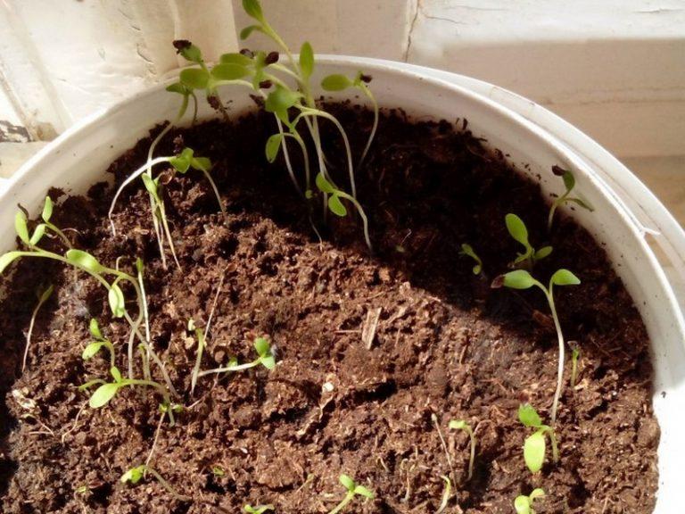 Как сажать щавель семенами дома 89