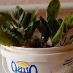 Особенности посадки щавеля в открытый грунт семенами