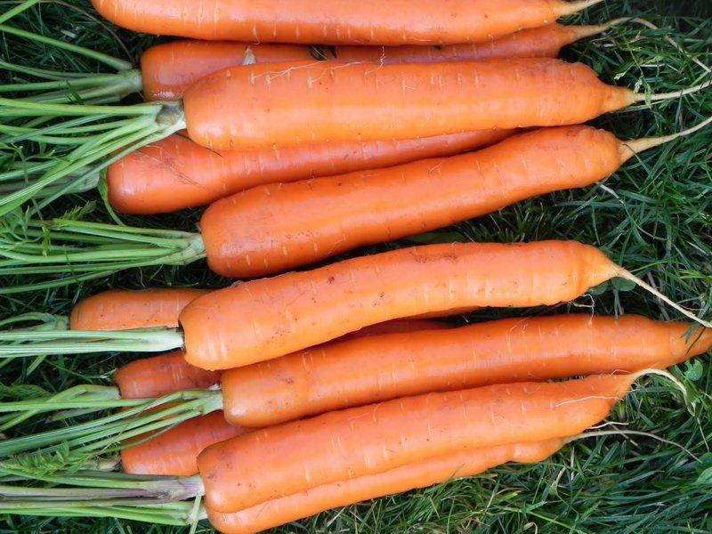 Морковь сорт «Тушон» на фото