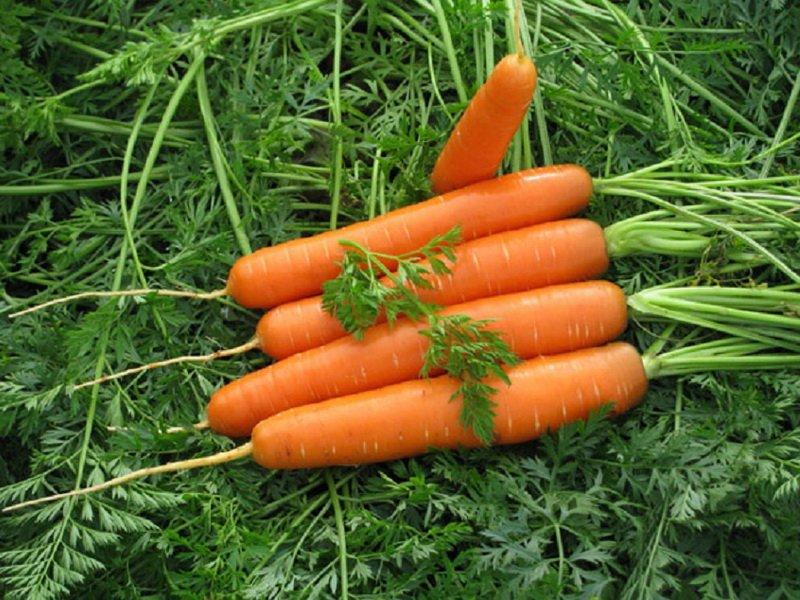 Морковь сорт «Каллисто» F1 на фото