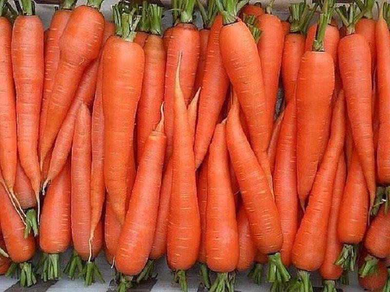 Морковь сорт «Лосиноостровская 13» на фото