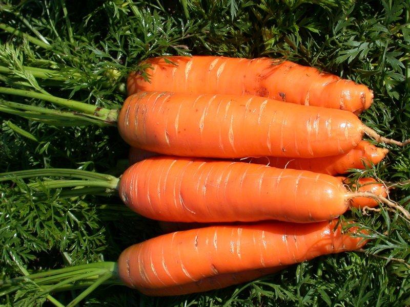 Морковь сорт «Нантская 4» на фото