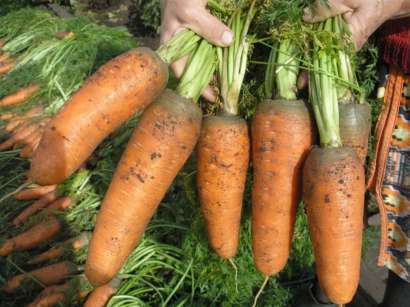 Морковь сорт «МО» на фото