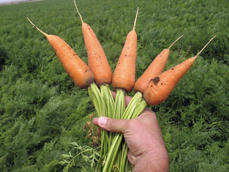 Морковь сорт «Шантенэ 2461» на фото