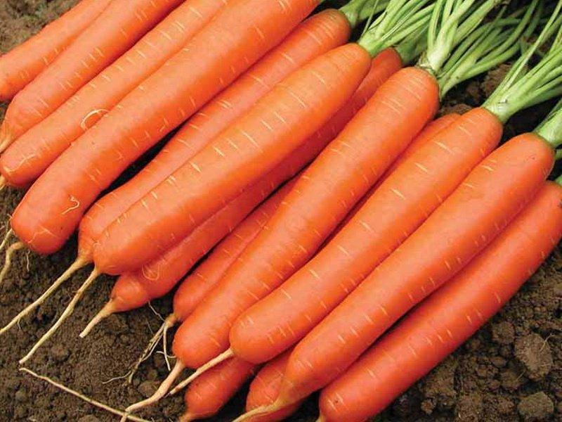 Морковь сорт «Несравненная» на фото