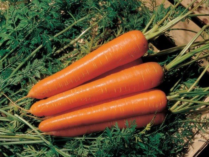 Морковь сорт «Флаккоро» на фото