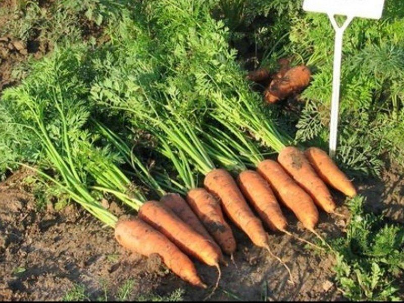 Морковь сорт «Русский размер» на фото