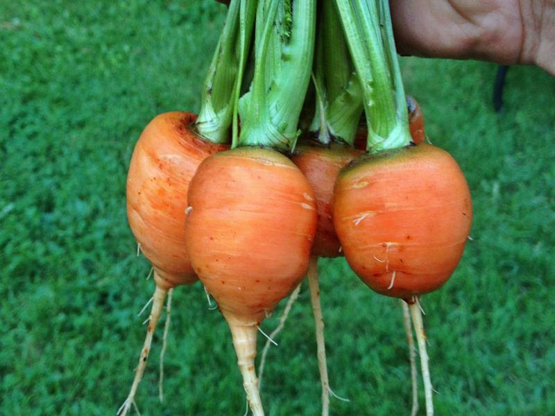 Морковь сорт «Полярная клюква» на фото