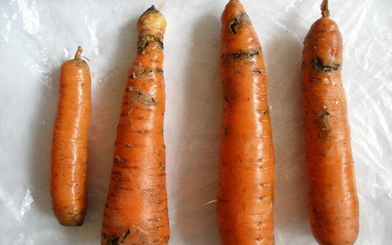 Морковная муха: фото и средства борьбы с вредителем на грядках