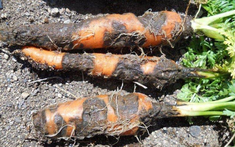 Описание болезней моркови и лечение корнеплодов фото