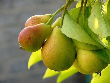 Описание лучших сортов груш