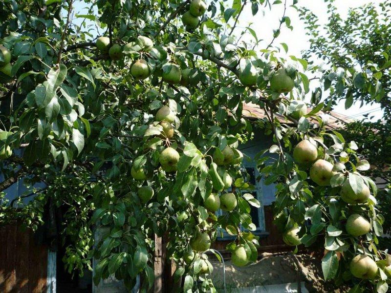 """Дерево груша сорт """"Бессемянка"""" на фото"""
