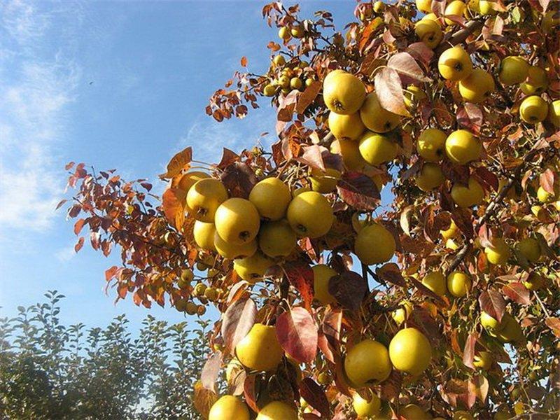 """Дерево груша сорт """"Лимонная"""" на фото"""