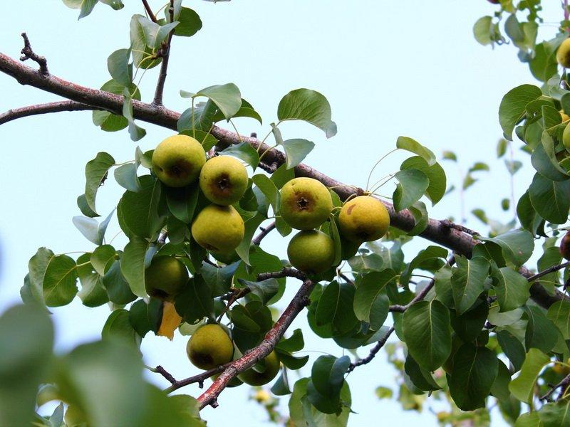 """Дерево груша сорт """"Бере Козловская"""" на фото"""