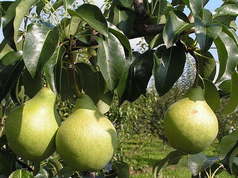 """У сорта груш """"Бере Козловская"""" плоды зеленовато-желтые (фото)"""