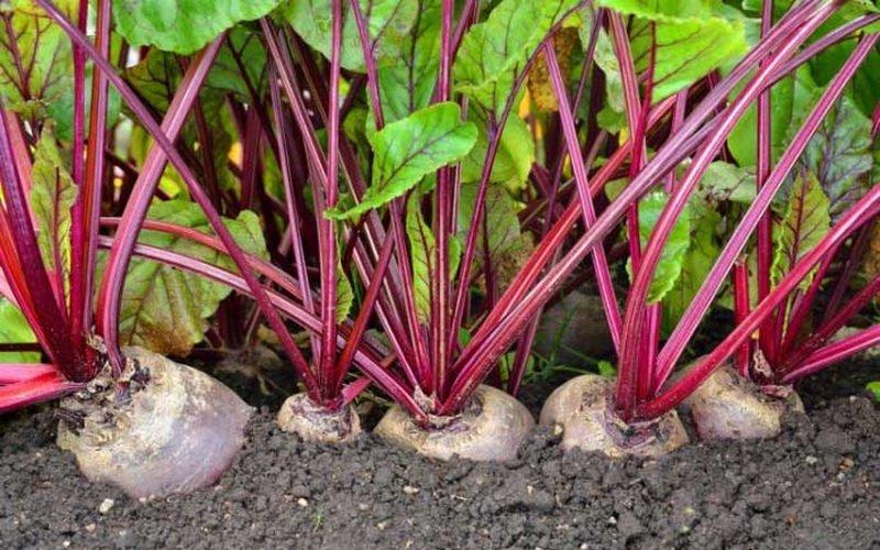 Условия и агротехника выращивания свеклы (с видео)