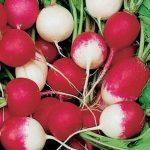 Китайская редька: особенности выращивания сладкого сорта