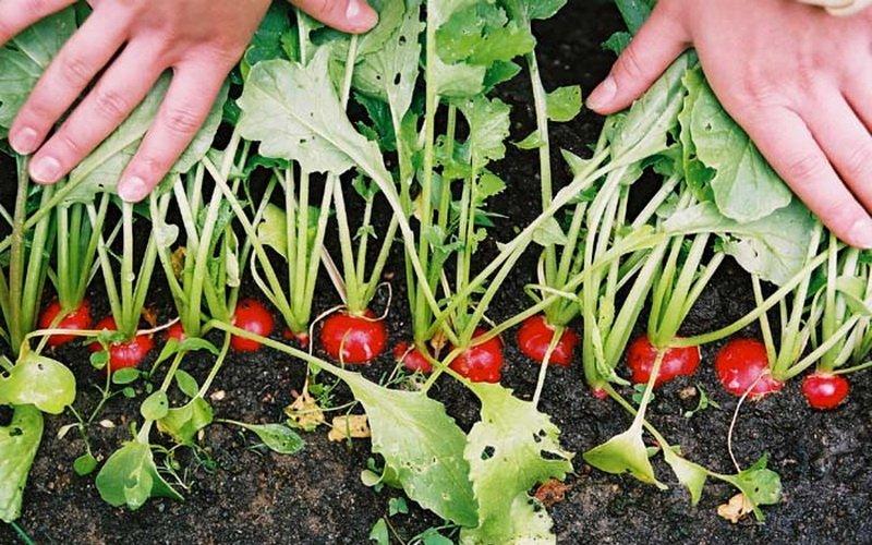 Условия и агротехника выращивания редиса