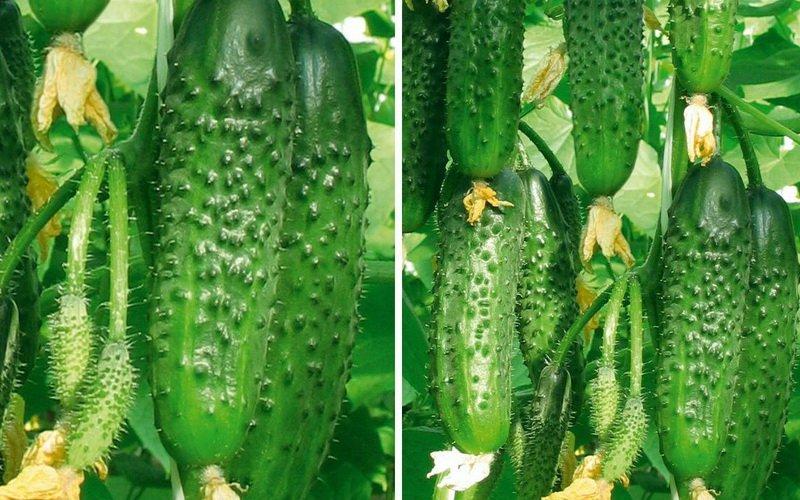 Технология выращивания огурцов в открытом грунте: фото, видео, лечебные свойства, описание лучших сортов