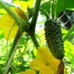Как посадить и вырастить огурцы Водолей