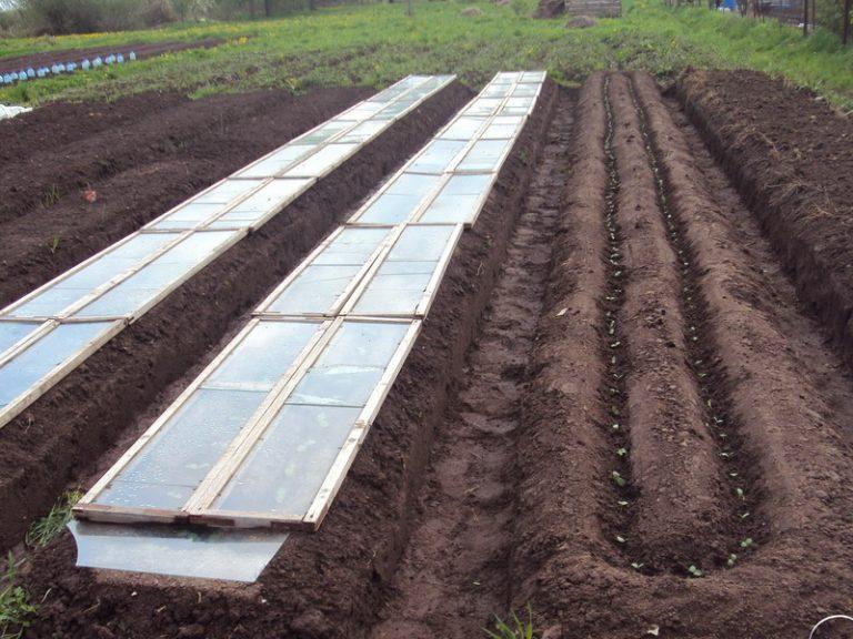 Выращивание огурцов в открытом грунте: рассада не нужна. Как