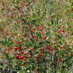 Лучшие сорта вишни для средней полосы России: фото, названия, описание и характеристики сортов вишни