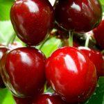 Вишня Игрушка описание сорта и характеристики плодоношения выращивание и уход
