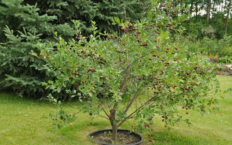 Лучшие зимостойкие сорта вишни для средней полосы