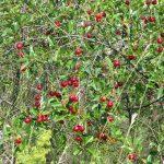 Описание и характеристики сорта вишни Встреча история селекции и особенности выращивания