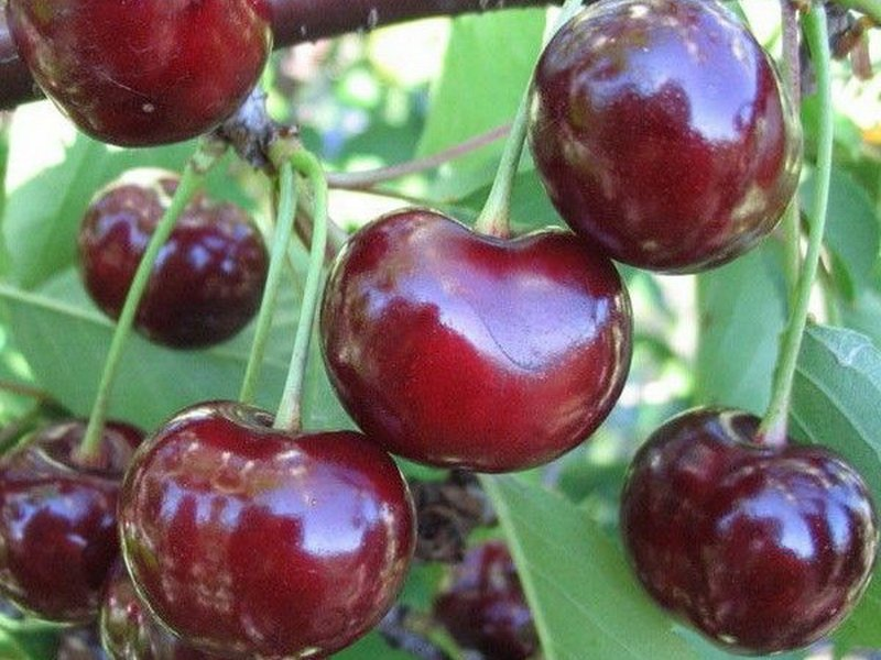 Сорт  вишни «Новелла» для выращивания на приусадебном участке (фото)