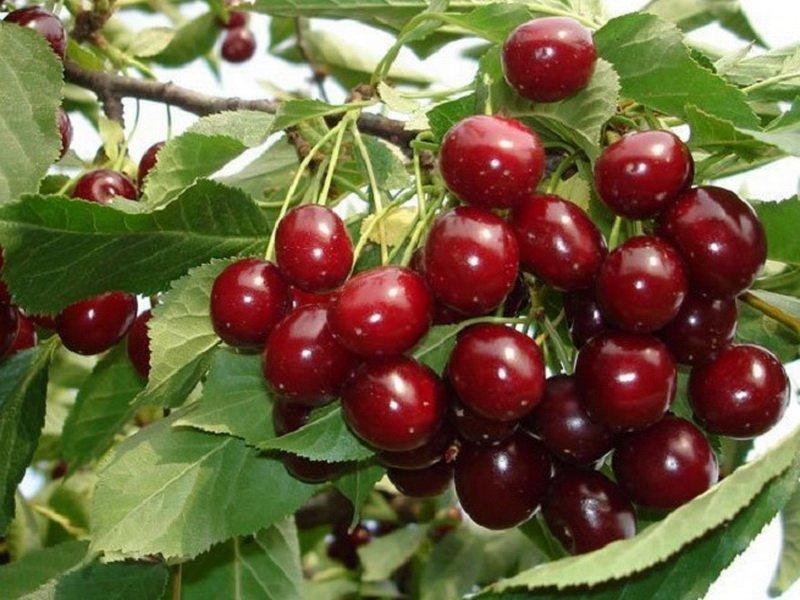 """Ягода вишни """"Плодородная Мичурина"""" на фото"""