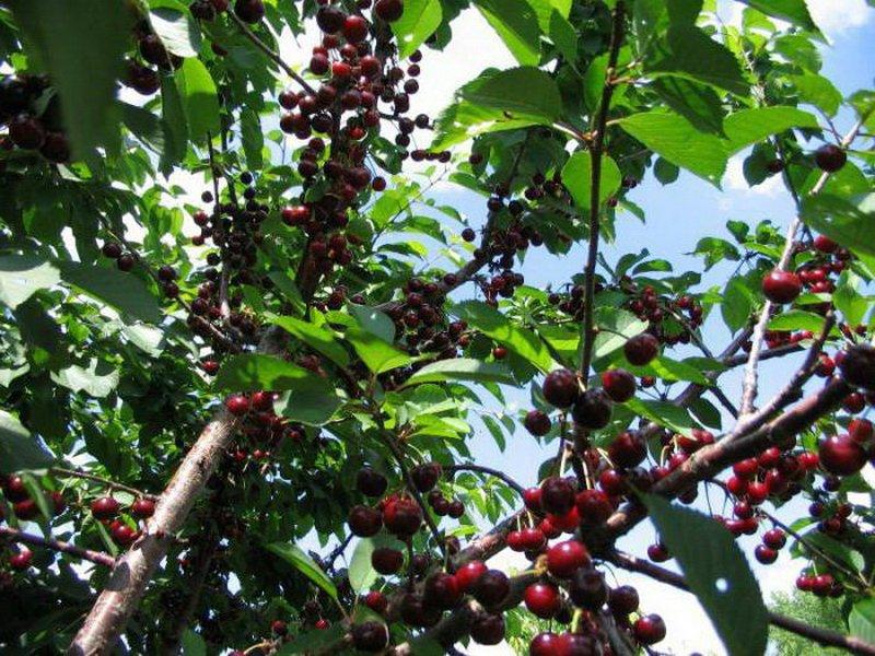 """У сорта вишни""""Владимирская"""" плоды средние, около 3 г на фото"""