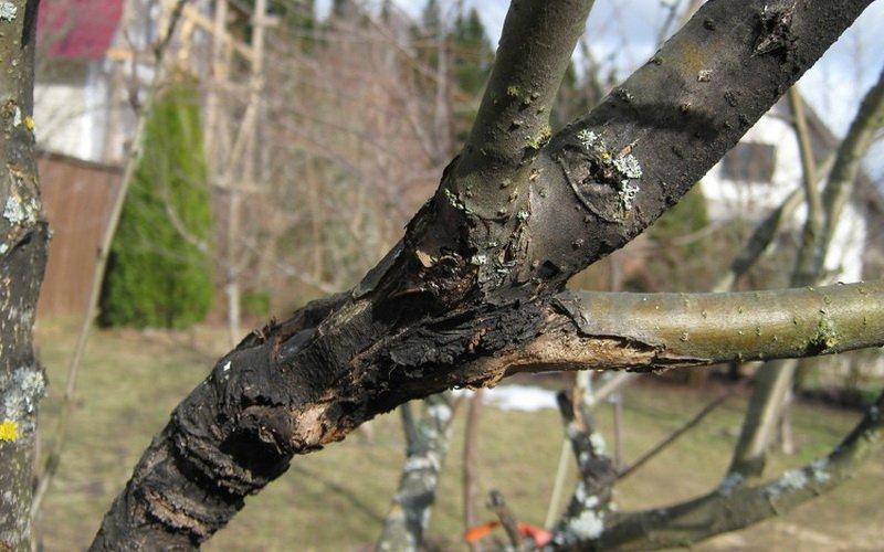 Заболевание плодовых деревьев черный рак и борьба с ним